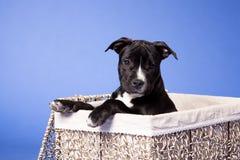 Staffordshire americano Terrier_24 fotografía de archivo libre de regalías