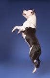 Staffordshire americano Terrier_30 fotografía de archivo libre de regalías