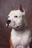 Staffordshire americano Terrier_9 foto de archivo