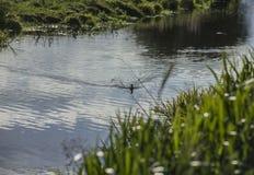 Staffordshire; Brittisk bygd på en solig dag; fåglar som swinning i en kanal arkivfoto