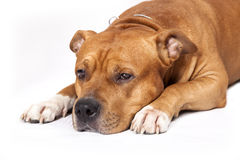 Free Staffordshire Bull Terrier Royalty Free Stock Photo - 21667935