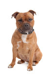 Staffordshire bull terrier. In front of a white background royalty free stock photography
