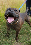 Staffordshire bull terrier. A staffordshire bull terrier going for a walk Stock Photo