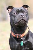 Staffordshire bull terrier Fotografie Stock