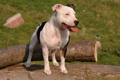 Staffordshire bull terrier Fotografia Stock