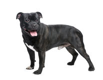 Staffordshire Bull Terrier () Royalty Free Stock Images