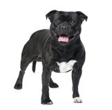 Staffordshire Bull Terrier () Stock Photography