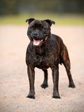 Staffordshire bull terrier. Royalty Free Stock Images