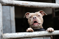 Barking Staffordshire Bull Terrier. A Staffordshire Bull Terrier barking from behind a fence Royalty Free Stock Photos