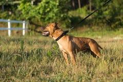 Staffordshire bull terrier Stock Images