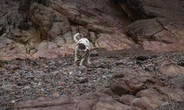 Staffordshire bull terrier carying pinne på bechen på Weston Super Mare arkivfoton