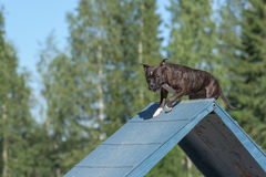 Staffordshire Bull Terrier  climbs over an a-frame Stock Photography