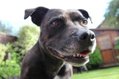 Staffordshire bull terrier close up Stock Photo