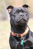 Staffordshire bull terrier. Close-up portrait of staffordshire bull terrier Stock Photos