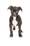 Staffordshire Bull Terrier Crossbreed Puppy Standing Royalty Free Stock Photos