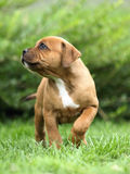 Staffordshire Bull Terrier. Cute puppy of Staffordshire Bull Terrier Stock Image