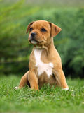 Staffordshire Bull Terrier. Cute puppy of Staffordshire Bull Terrier stock images