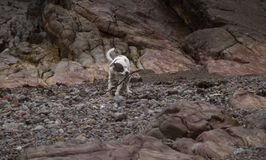 Staffordshire bull terrier die stok op bech carying in Weston Super Mare stock foto's