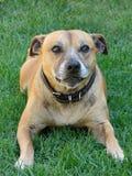 Staffordshire Bull Terrier Dog Royalty Free Stock Photos
