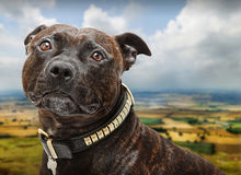 Staffordshire bull terrier dog. Outdoors with countryside vista stock photo