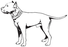Staffordshire Bull Terrier Dog. Vector illustration, Staffie, Stafford, Staffy or Staff Royalty Free Stock Image