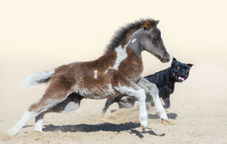 Staffordshire Bull Terrier dog and American miniature foal. Stock Photos
