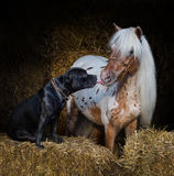 Staffordshire Bull Terrier dog and miniature horse Royalty Free Stock Photo