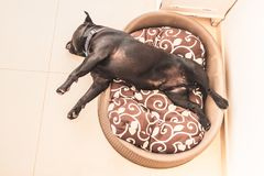Staffordshire bull terrier dog asleep in a plastic bed with cushion. Black staffordshire bull terrier dog asleep in a plastic bed with cushion. His head is stock images