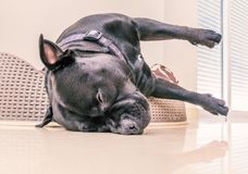 Staffordshire bull terrier dog asleep in a plastic bed with cushion. Black staffordshire bull terrier dog asleep in a plastic bed with cushion. His head is stock image