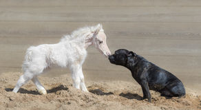 Staffordshire Bull Terrier dog and beautiful American miniature foal Royalty Free Stock Image