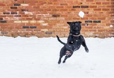 Staffordshire bull terrier dog leaping to a snowball. Black staffordshire Bull Terrier dog playing in snow and leaps for a snowball in front of a red brick built royalty free stock image
