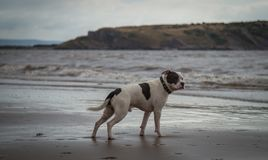 Staffordshire bull terrier dog looking in the sea at Weston Super mare royalty free stock image