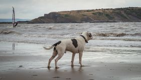 Staffordshire bull terrier dog looking in the sea at Weston Super mare stock images