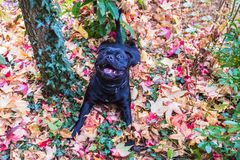 Staffordshire bull terrier dog lying in colouful maple leaves Royalty Free Stock Photo
