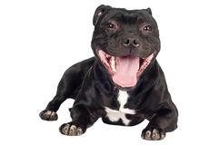 Staffordshire bull terrier dog Royalty Free Stock Images