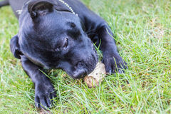 A Staffordshire bull terrier dog lying on the grass holding and chewing a piece of naural wood. Royalty Free Stock Photography