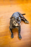 Staffordshire Bull Terrier dog lyingin on a wooden floor Stock Images