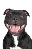 Smiley staffordshire bull terrier dog. Staffordshire bull terrier  dog with mouth wide open Royalty Free Stock Photos