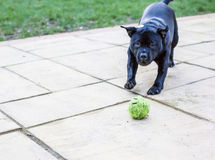 Staffordshire bull terrier dog playing with a ball Stock Photos