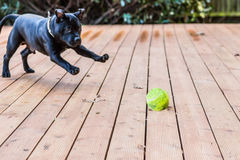Staffordshire bull terrier dog playing with a ball. Staffordshire bull terrier black dog, puppy, 5 months, on wooden decking, deck, patio playing with a tennis Royalty Free Stock Photography