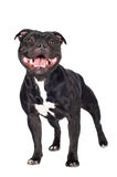 Staffordshire bull terrier dog Royalty Free Stock Photography