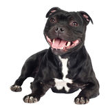 Staffordshire bull terrier dog lying down Stock Images