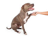 Staffordshire Bull Terrier Dog Shaking Human Hand. Full body profile of dog looking upwards towards handler stock images