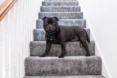 Staffordshire bull terrier dog sitting on a staircase Stock Photo