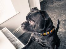 Staffordshire bull terrier dog standing looking out of a window Royalty Free Stock Photography