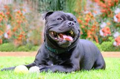 Staffordshire bull terrier dog with tennis ball lying on grass. Staffordshire bull terrier black dog lying on grass playing with tennis balls. he is happy and Stock Image