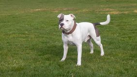 Staffordshire Bull Terrier Dog walking in park. The Staffordshire Bull Terrier is a small to medium sized, short-coated breed of terrier from England. The royalty free stock photography