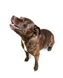 Staffordshire Bull Terrier dog on white background Royalty Free Stock Image