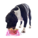 Staffordshire bull terrier eating Royalty Free Stock Photo