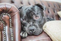 Staffordshire bull terrier en un sofá de cuero fotografía de archivo